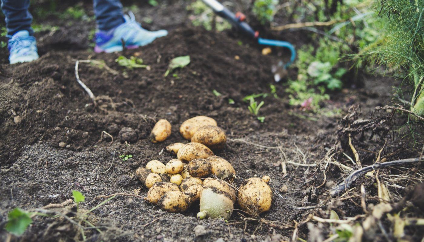 peut on manger des pommes de terre germées